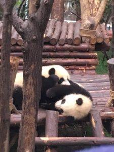 揉める子パンダ