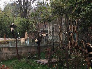木の上の子パンダ
