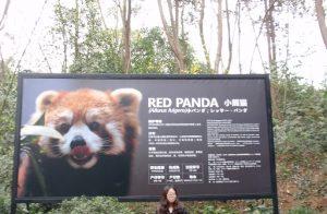 成都のレッサーパンダ看板