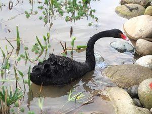 パンダ基地スワンレイクの黒鳥