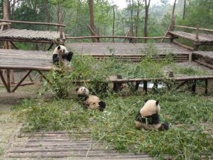 幼年パンダ食事中