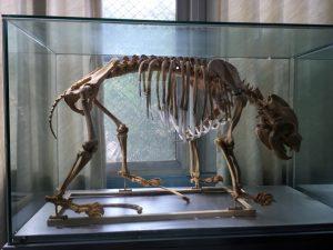 熊猫医院骨格標本