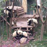 中国 成都 パンダ基地 大熊猫繁育研究基地でパンダ三昧 その1