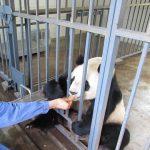 パンダ抱っこもできる中国・熊猫楽園で夢のパンダ飼育員ボランティア体験