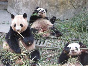 熊猫谷奇縁