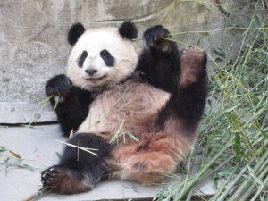 熊猫谷子パンダ