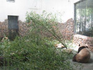 熊猫谷室内パンダ