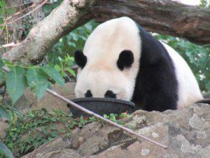 スミソニアン動物園パンダベイベイ
