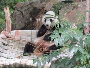 やぐらでご飯を食べるスミソニアン動物園のベイベイ