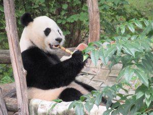 スミソニアン動物園のベイベイ