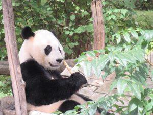 スミソニアン動物園パンダベイベイくん