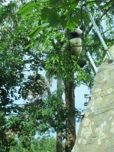 木に登るベイベイスミソニアン動物園