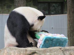 ティエンティエン誕生日ケーキを食べる